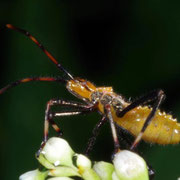 Juvenile reduviid predator, Macrophotography by Randy Stapleton