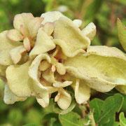 gall (Exobasidium ferrugineae) on Fetterbush, Lyonia lucida, photo by Art Smith