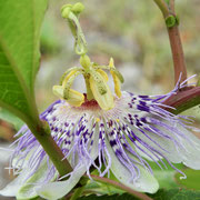 Maypop or Passionflower - Passiflora incarnate, photo by Art Smith