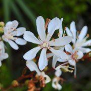 tarflower- Bejaria racemosa, Photo by Art Smith