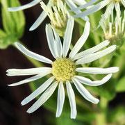Whitetop Aster--Oclemena reticulata,  photo by Art Smith