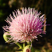 Thistle--Cirsium horridulum, photo by Art Smith