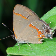 hairstreak Macrophotography by Randy Stapleton