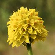 Yellow Milkwort-- Polygala rugelii, photo by Art Smith