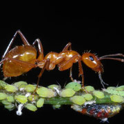Guardian ant with aphids