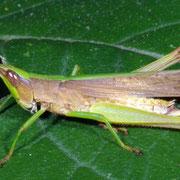 Slant-faced grasshopper, Macrophotography by Randy Stapleton