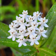 White Swamp Milkweed--Asclepias perennis, Photo by Art Smith
