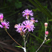 Florida ironweed-  veronica blodgetti, Photo by Art Smith