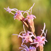 Blazing Star--Liatris tenuifolia, Photo by Art Smith