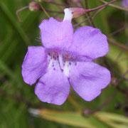 Flaxleaf False Foxglove--Agalinis linifolia, Photo by Art Smith