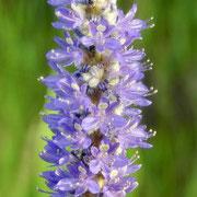Pickerelweed--Pontederia cordata, photo by Art Smith