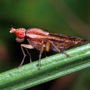 marsh fly, snail killer, Macrophotography by Randy Stapleton