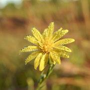 Narrowleaf Silkgrass-Pityopsis graminifolia, Photo by Art Smith