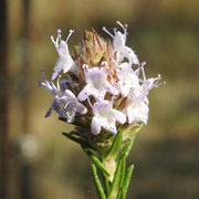 Pennyroyal --Piloblephis rigida, Photo by Art Smith
