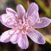 Rose-rush--Lygodesmia aphylla, Photo by Art Smith