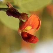 Bag Pod or Bladderpod---Sesbania vesicaria, Photo by Art Smith