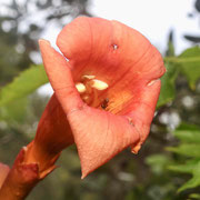 Trumpet Creeper--Campsis radicans, photo by Art Smith