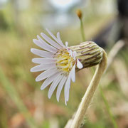 Pineland Daisy--Chaptalia tomentosa, Photo by Art Smith