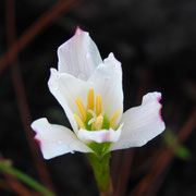Rain lily, Zephyranthes atamasca, Photo by Art Smith