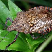 Juvenile stinkbug, Macrophotography by Randy Stapleton