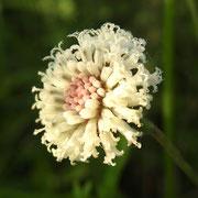Flattened Pipewort-- Eriocaulon compressum, photo by Art Smith