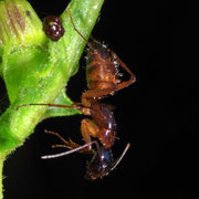 ant  Macrophotography by Randy Stapleton