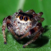 Jumping spider, Macrophotography by Randy Stapleton