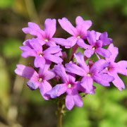 Verbena --Glandularia tampensis, Photo by Art Smith