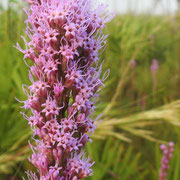 Liatris tenuifolia, Photo by Art Smith