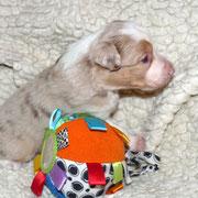 Pup 4: Red merle trico reutje: nog beschikbaar