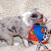 Pup 6: Blue merle trico reutje: nog beschikbaar