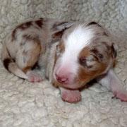 Pup 5: Red Merle trico reutje, nog vrij