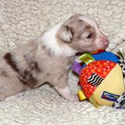 Pup 3: Red merle teefje: Shepherds Wish Nina
