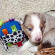 Pup 5: Red merle trico reutje: nog beschikbaar