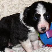 Pup 2: Zwart-wit teefje: Shepherds Wish Nao