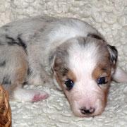 Pup 1: Red merle trico teefje: Shepherds Wish Naya