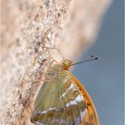 Kaisermantel (Argynnis paphia), Männchen Mineralien saugend
