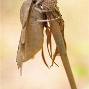Eichenschwärmer (Marumba quercus)