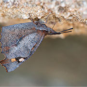 Schnauzenfalter (Libythea celtis), einer der lustigsten Falter, die ich kenne