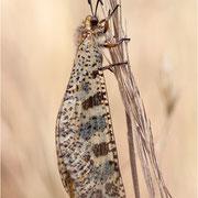 Libellenähnliche Ameisenjungfer (Palpares libelluloides)