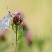 Schachbrettfalter (Melanargia galathea f. leucomelas), Weibchen
