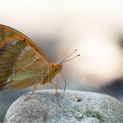 Kaisermantel (Argynnis paphia), Männchen