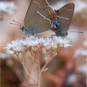 Schlehen-Zipfelfalter (Satyrium spini), Paarung