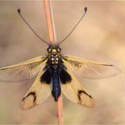 Langfühleriger Schmetterlingshaft (Libelloides longicornis)