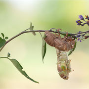 Singzikade / Gemeine Zikade (Lyristes plebeja), Imaginalhäutung