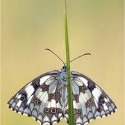 Schachbrettfalter (Melanargia galathea), Weibchen