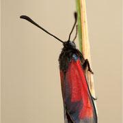 Mannstreu-Widderchen (Zygaena erythrus)