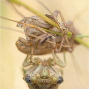 Singzikade / Gemeine Zikade (Lyristes plebeja), kurz nach dem Schlupf