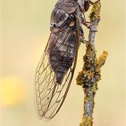Singzikade / Gemeine Zikade (Lyristes plebeja), geschlüpft in der Nacht an unserer Zeltleine