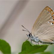 Spanischer Blauer Zipfelfalter (Laeosopis roboris), Weibchen - ein Zipfelfalter ohne Zipfel